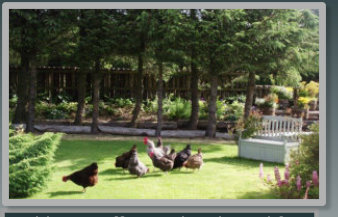 Hens in the garden at Auld Post Office B&B