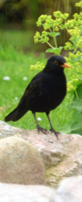 blackbird in the garden at the bed and breakfast